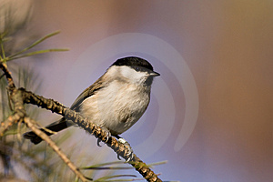 Willow Tit Stock Image - Image: 4212061