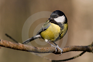 Great Tit (aka Parus Major) Royalty Free Stock Photos - Image: 4212188