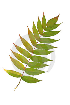 Rowan Leaf Stock Photos - Image: 4222653