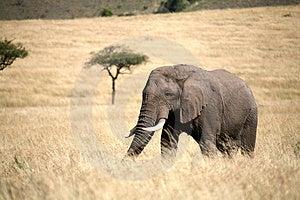 Elephant Walking Through The Grass Stock Photo - Image: 4229590