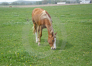 Bay horse eating grass Stock Photo