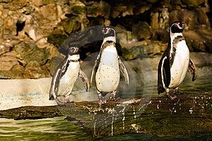 Penguin Royalty Free Stock Image - Image: 4290066