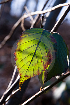 Leaf On The Sunlight Royalty Free Stock Photography - Image: 4297417