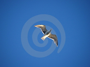 Soaring Seagull Stock Photography - Image: 4338932