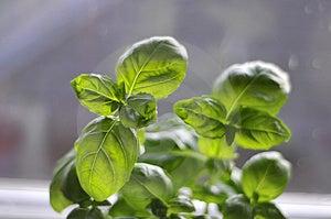 Green Herb Stock Photos - Image: 4342723