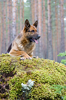 Germany Sheep-dog Stock Images - Image: 4347214