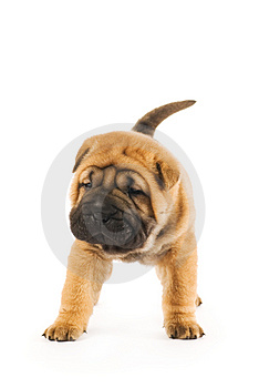 Funny shar pei puppy Free Stock Photo