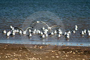 Seagulls Gathering Stock Images - Image: 4378024