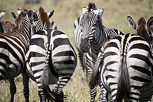 Zebra (Kenya) Stock Photos - Image: 4379533
