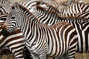 Zebra (Kenya) Stock Photo - Image: 4379880