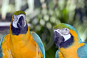 Parrots Royalty Free Stock Photo - Image: 4381275