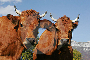 Portrait Of Cow Royalty Free Stock Photography - Image: 4399237
