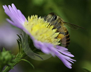 Bee Royalty Free Stock Image - Image: 4424816