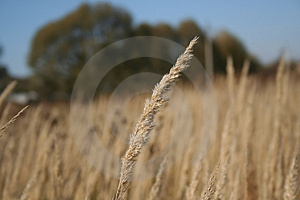 Dry Herb Royalty Free Stock Image - Image: 4443866