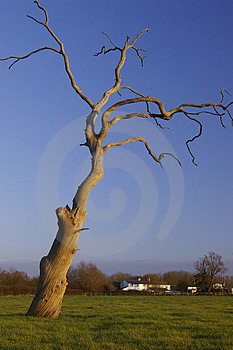 Dead tree Free Stock Photography
