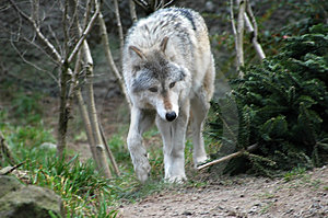 Wolf Free Stock Photography