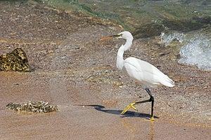 Walking Egret Royalty Free Stock Photo - Image: 4453575