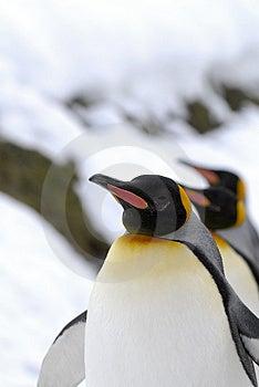 King Penguin (Aptenodytes Patagonicus) Stock Photos - Image: 4455113