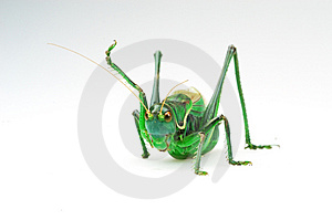 Katydid's Action Royalty Free Stock Photo - Image: 4464035