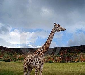 Giraffe (Giraffa Camelopardalis) Stock Photo - Image: 4474330