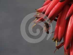Bee Gathering Pollen Royalty Free Stock Image - Image: 454186