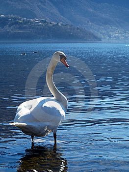The Grace Of The Swan Royalty Free Stock Photos - Image: 4507058