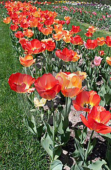 Red And Orange Tulips Stock Image - Image: 4520891