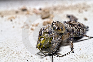 Jumping Spider With Lynx Spider In The Mouth Royalty Free Stock Photos - Image: 4539568