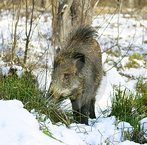Wild Boar Royalty Free Stock Photo - Image: 4577585