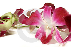 Orchids On White Stock Photo - Image: 4583320