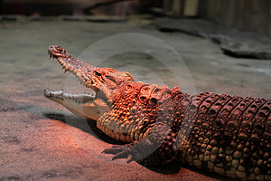 Crocodile Warming At The Zoo Stock Image - Image: 4593241