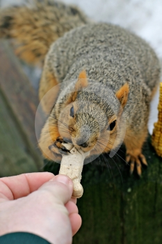 Squirrel And Dog Bone Royalty Free Stock Image - Image: 461136
