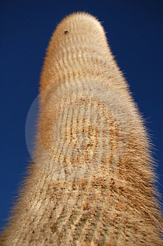 Huge Cardon Cactus Royalty Free Stock Image - Image: 4600356