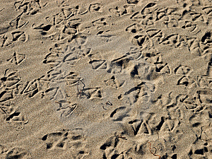 Seagull Tracks Royalty Free Stock Photos - Image: 4603738