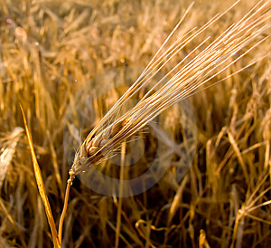 Wheat ear closeup Free Stock Photo