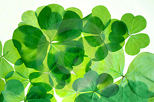Isolated shamrocks Royalty Free Stock Image