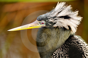 Anhinga Portrait Stock Photography - Image: 4644002