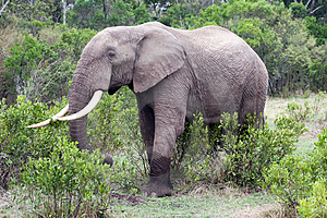 Elephant In The Reserve Stock Photos - Image: 4648333