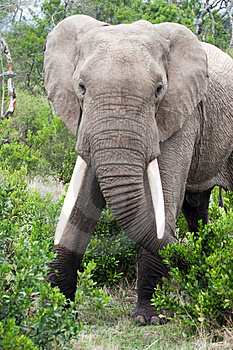 Elephant In The Reserve Royalty Free Stock Images - Image: 4648369