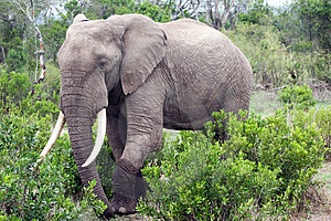 Elephant In The Reserve Royalty Free Stock Photography - Image: 4648377