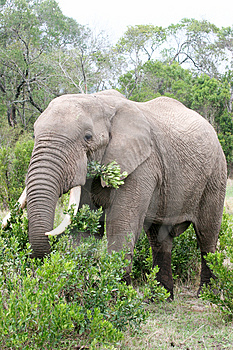 Elephant In The Reserve Stock Photo - Image: 4648470