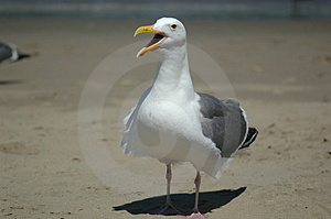 Seagull On A Beach Royalty Free Stock Photo - Image: 4654625