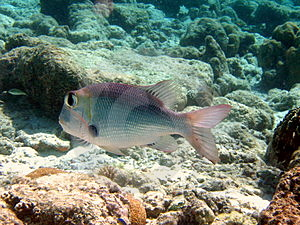 Fish : Humpnose Big-Eye Bream Royalty Free Stock Photo - Image: 4679965
