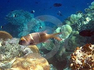Fish : Humpnose Big-Eye Bream Royalty Free Stock Image - Image: 4680546