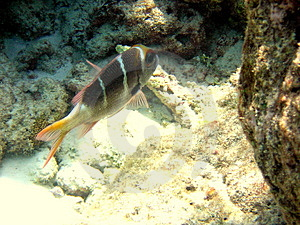 Maldivian Humpnose Big-Eye Bream Royalty Free Stock Photo - Image: 4681325
