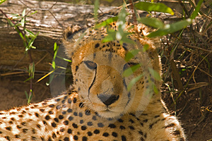 A Cheetah Lying In The Shade Royalty Free Stock Photography - Image: 4682067