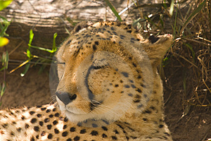 A Cheetah Lying In The Shade Stock Photography - Image: 4683002