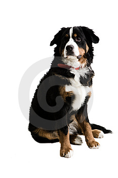 Un cane che si siede su Fotografie Stock