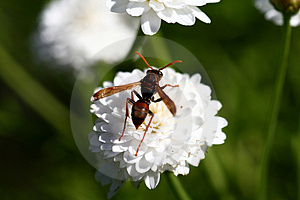 Hornet On Flower Stock Photography - Image: 4716432