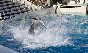 Água Grande Splah Pelo Assassino Whal Foto de Stock Royalty Free - Imagem: 4719555
